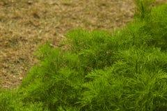 dilled Zielarski liścia tło fotografia royalty free