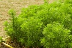 dilled Zielarski liścia tło obraz stock