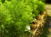 dilled Zielarski liścia tło fotografia stock