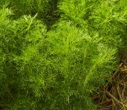 dilled Zielarski liścia tło obrazy stock