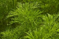 dilled Zielarski liścia tło zdjęcie royalty free