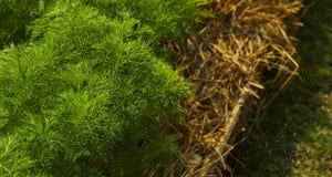 dilled Zielarski liścia tło zdjęcia stock