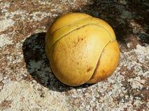 Dillenia indica, manzana del elefante, chulta, chalta, ouu Fotografía de archivo