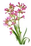 Dilleniidae Wild Flowers Royalty Free Stock Photo