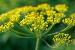 Dillregenschirm-Blumenabschluß oben, natürliches Sonnenlicht gelb lizenzfreie stockfotografie