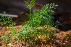 Dillväxt på lantgården Royaltyfri Foto