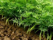 Dillväxter Royaltyfri Foto