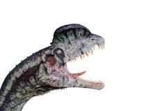 Dilophosaurus no fundo branco pronto para atacar imagens de stock
