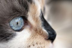 Dilute calico closeup Royalty Free Stock Photography