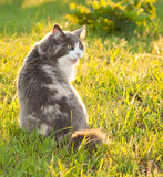 Diluted calico cat in grass Royalty Free Stock Images