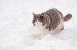 Diluted calico cat walking in deep snow Stock Image