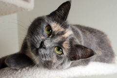 Diluted Tortie Cat Stock Photography