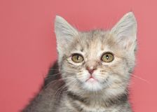 Diluted tortie kitten with conjunctivitis, mild infection, close up of face. Portrait of a diluted tortie kitten looking at viewer with eyes infected royalty free stock photo