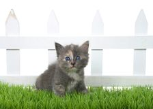 Diluted tortie kitten sitting in green grass in front of white picket fence isolated. Adorable diluted tortie tabby kitten sitting in green grass in front of a stock photography