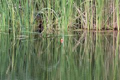 Dimenticato pescando Bobber nelle erbe immagine stock