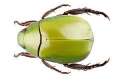 Dimidiata vert d'Anomala d'espèce de coléoptère Photos libres de droits