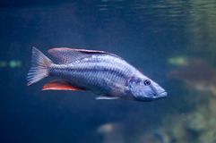 Dimidiochromis compressiceps fish stock images