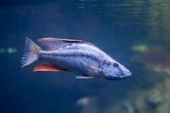 Dimidiochromis compressiceps vissen stock afbeeldingen