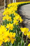 Diminishing Line of Daffodils - Vertical Stock Image