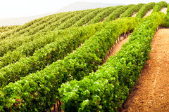 Diminishing rows of Vineyard Field in Southern France Stock Image