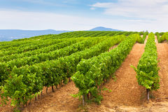Diminishing rows of Vineyard Field in Southern France Royalty Free Stock Photography
