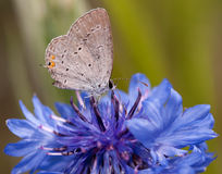 Diminutive Easter Tailed Blue butterfly Royalty Free Stock Images