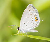 Diminutive Eastern Tailed Blue butterfly Stock Photos