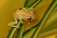 The diminutive frog. Royalty Free Stock Photo