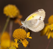 Diminutive Little Yellow, Eurema lisa butterfly Stock Image