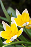 Diminutive Tulip (Tulipa tarda). In a garden Royalty Free Stock Photo