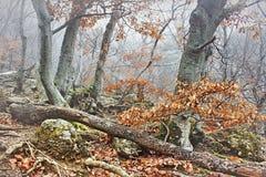 Dimma i bergbokträdskog Arkivfoton