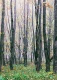 Dimma i ekhöstskogen arkivbilder