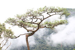 Dimma i pinjeskog Arkivbild
