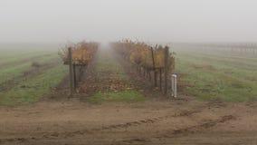 Dimma i vingården arkivbild