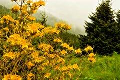 Dimma och rhododendron överst av Roan Mountain Arkivfoton