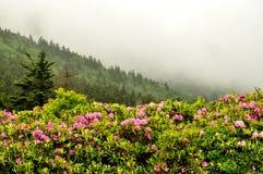 Dimma och rhododendron överst av Roan Mountain Arkivfoto