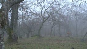 Dimma till och med chesnutträd SF stock video