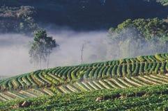 Dimman på jordgubbelantgården royaltyfria bilder