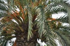 Dimmig dag, gräsplan och apelsinfärger - som är nära upp av filialer av kokosnötpalmträdet Royaltyfri Foto