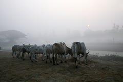 Dimmig morgon i den Bengal bygden Kumrokhali Arkivbilder