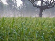 Dimmig morgon i risfält Arkivbilder
