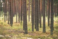 Dimmig morgon i träna skog med trädstammar - tappning fi Arkivfoto
