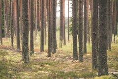 Dimmig morgon i träna skog med trädstammar - tappning fi Royaltyfri Fotografi