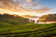 Dimmig morgonsoluppgång i jordgubbeträdgård på Doi Angk-hängning moun Royaltyfri Foto