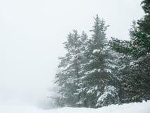 Dimmig skog och gran på vintern Arkivbilder