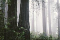 dimmig skogredwoodträd Arkivbilder