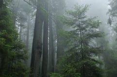 dimmig skogredwoodträd royaltyfria bilder