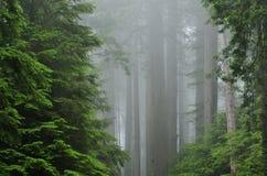 dimmig skogredwoodträd fotografering för bildbyråer