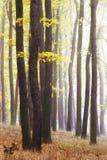 Dimmig tid för höst Gul skog för guld med sisten av solen som skiner till och med träden Skinande blad på den mörka stammen royaltyfri foto