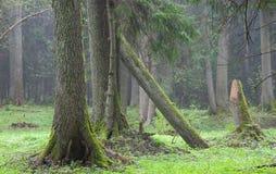 dimmiga gammala trees för alskogframdel Arkivbilder
